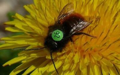 Wildbiene mit Nummer auf dem Rücken.