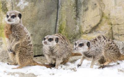 Eine neue Erdmännchen-Gruppe in Hellabrunn