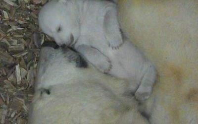 Das Eisbärbaby im Tierpark Hellabrunn hat zum ersten Mal seine Augen geöffnet