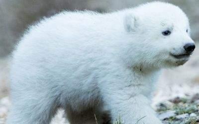 Das Eisbär-Baby in Hellabrunn