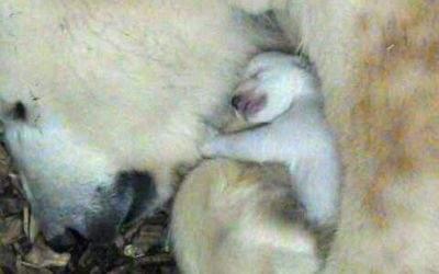 Das Eisbär-Baby im Tierpark Hellabrunn kuschelt mit seiner Mutter Giovanna
