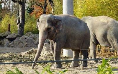 Die Elefantenkühe im Tierpark Hellabrunn
