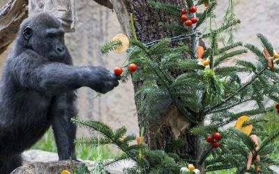 Gorilla Okanda mit Weihnachtsbaum im Tierpark Hellabrunn