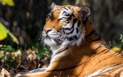 Sibirischer Tiger im Tierpark Hellabrunn im Herbst