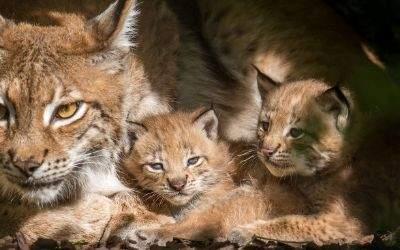 Luchs-Babys im Tierpark Hellabrunn