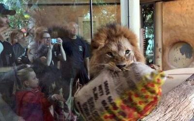 Ein Löwe packt seinen Oster-Snack aus.