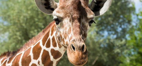 Giraffe Limber in Hellabrunn