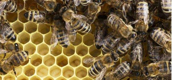 Bienen auf Bienenwaben