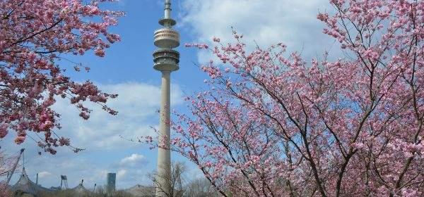 Olympiaturm mit Zierkirschen im Frühling