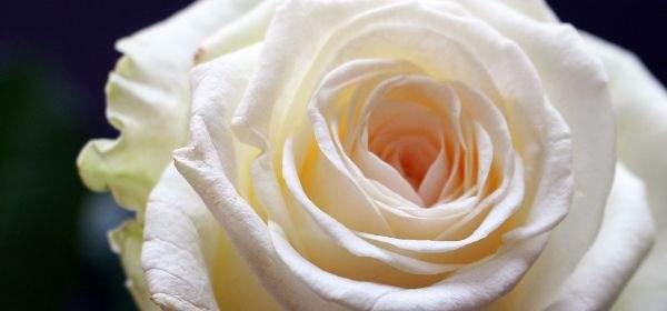 Weiße aufgeblühte Rose