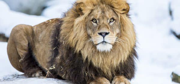 Löwe Max genießt den Schnee im Tierpark Hellabrunn